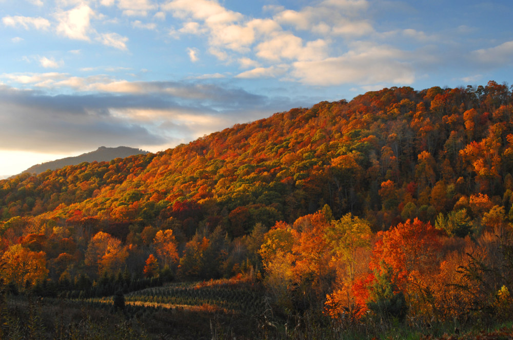 Late day light enhances the fall color and a christmas tree farm in the rural North Carolina mountains.